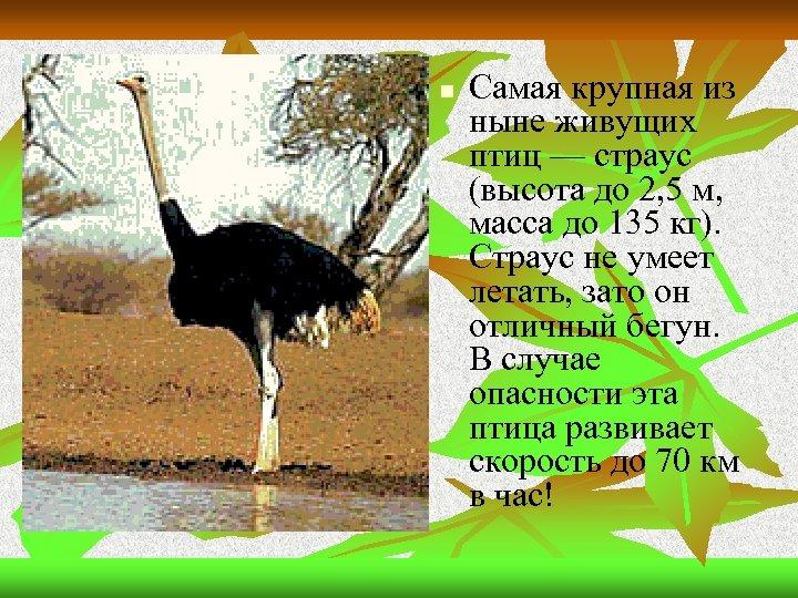 n Самая крупная из ныне живущих птиц — страус (высота до 2, 5 м,