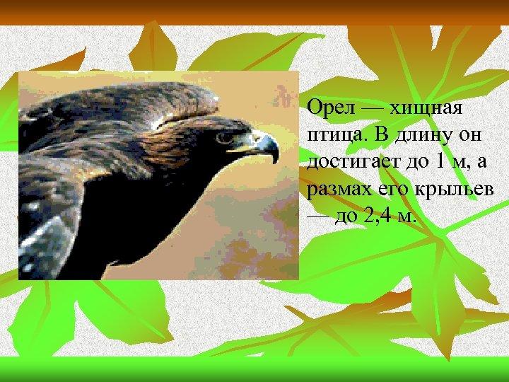 n Орел — хищная птица. В длину он достигает до 1 м, а размах