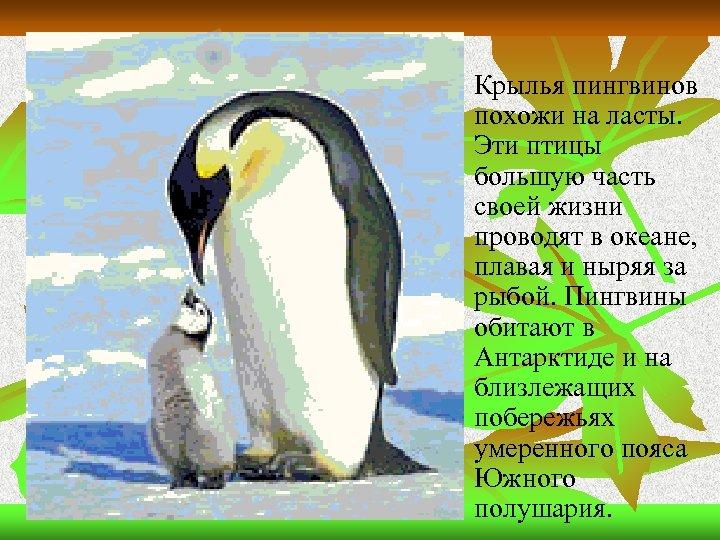 n Крылья пингвинов похожи на ласты. Эти птицы большую часть своей жизни проводят в