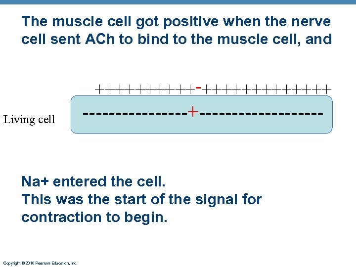 The muscle cell got positive when the nerve cell sent ACh to bind to
