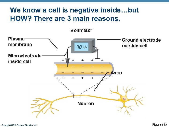 We know a cell is negative inside…but HOW? There are 3 main reasons. Voltmeter