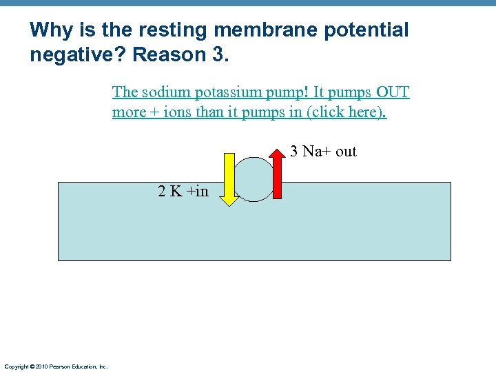 Why is the resting membrane potential negative? Reason 3. The sodium potassium pump! It