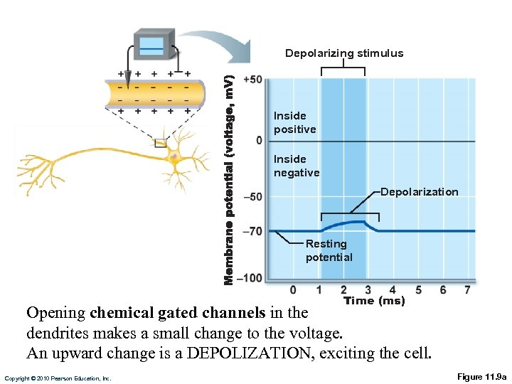 Depolarizing stimulus Inside positive Inside negative Depolarization Resting potential Time (ms) Opening chemical gated