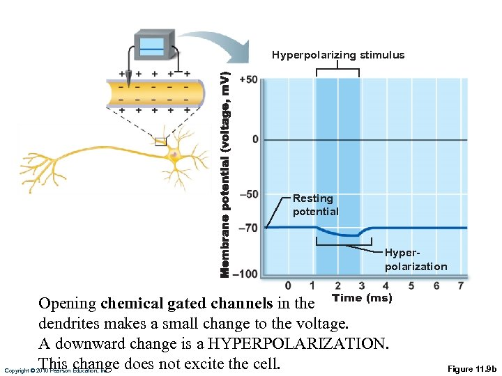 Hyperpolarizing stimulus Resting potential Hyperpolarization Opening chemical gated channels in the Time (ms) dendrites