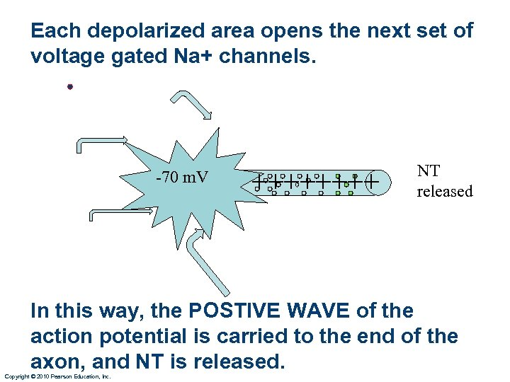 Each depolarized area opens the next set of voltage gated Na+ channels. • -70