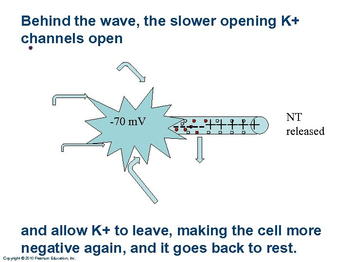 Behind the wave, the slower opening K+ channels open • -70 m. V -----+++++