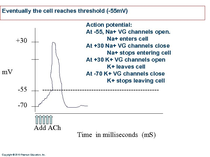 Eventually the cell reaches threshold (-55 m. V) Action potential: At -55, Na+ VG