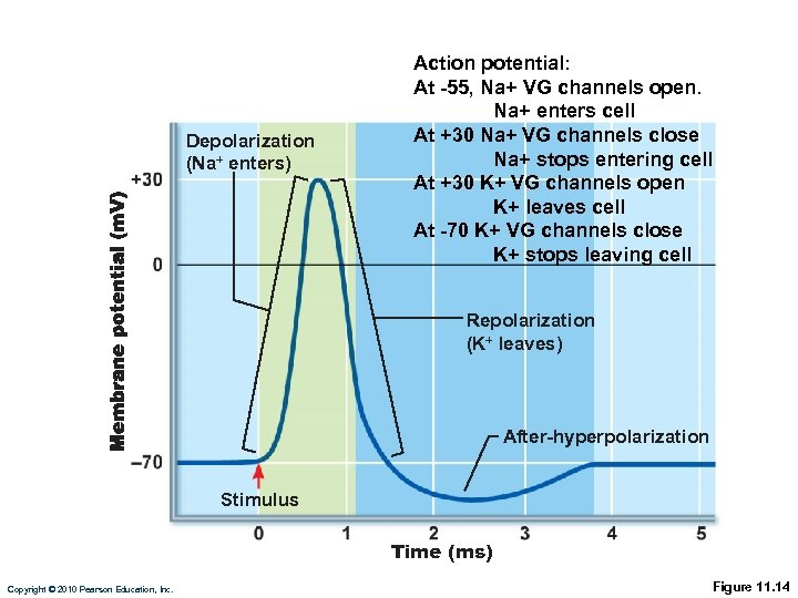 Depolarization (Na+ enters) Action potential: At -55, Na+ VG channels open. Na+ enters cell