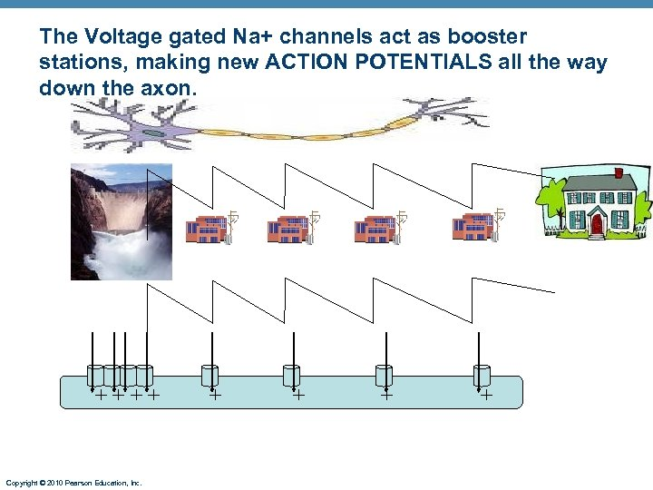 The Voltage gated Na+ channels act as booster stations, making new ACTION POTENTIALS all