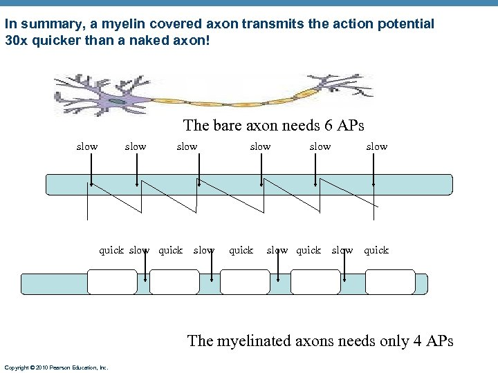 In summary, a myelin covered axon transmits the action potential 30 x quicker than