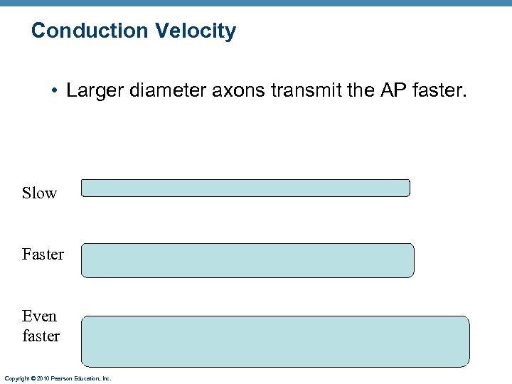 Conduction Velocity • Larger diameter axons transmit the AP faster. Slow Faster Even faster