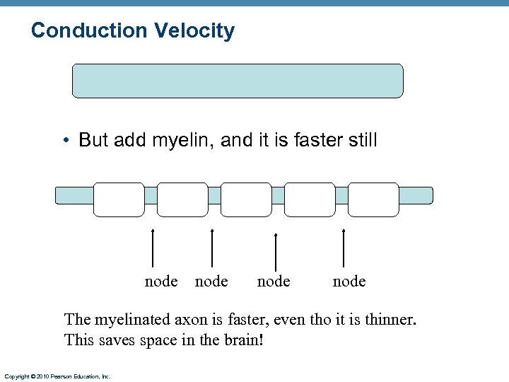 Conduction Velocity • But add myelin, and it is faster still node The myelinated