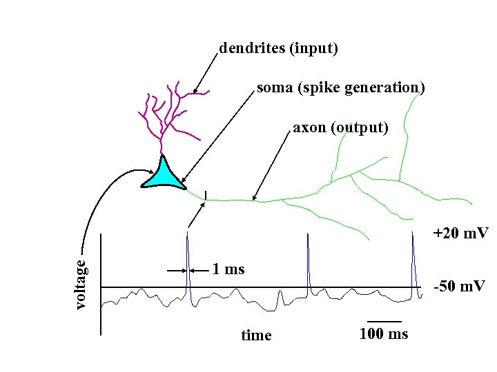 dendrites (input) soma (spike generation) axon (output) voltage +20 m. V 1 ms time