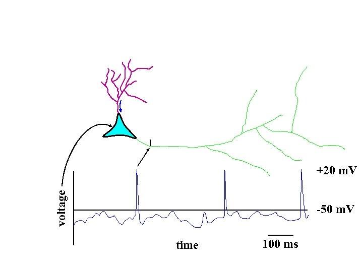voltage +20 m. V -50 m. V time 100 ms