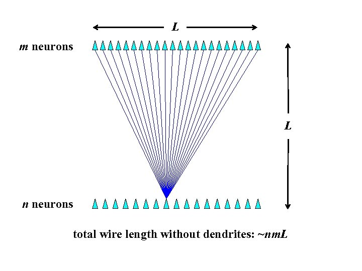 L m neurons L n neurons total wire length without dendrites: ~nm. L