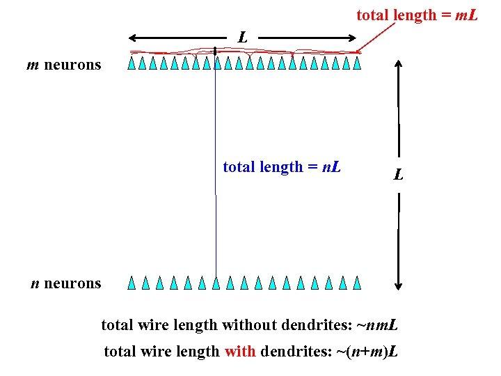 total length = m. L L m neurons total length = n. L L