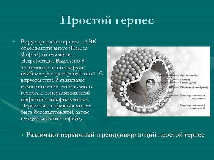 Простой герпес • Вирус простого герпеса - ДНКсодержащий вирус (Herpes simplex) из семейства Herpesviridae.