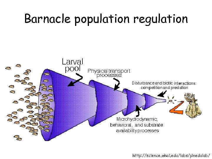Barnacle population regulation http: //science. whoi. edu/labs/pinedalab/