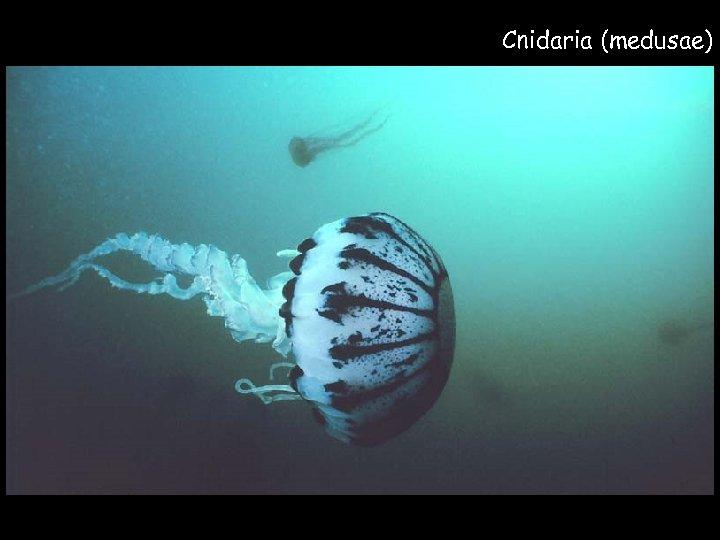 Cnidaria (medusae)