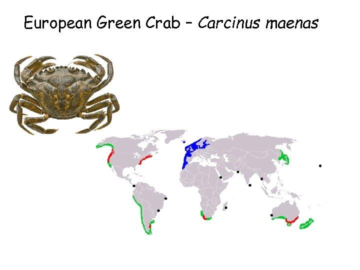 European Green Crab – Carcinus maenas