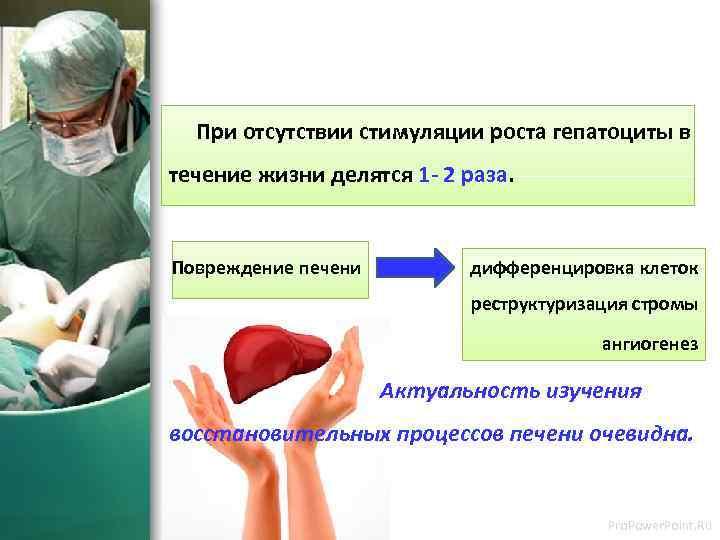 При отсутствии стимуляции роста гепатоциты в течение жизни делятся 1 - 2 раза.
