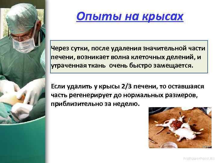 Опыты на крысах Через сутки, после удаления значительной части печени, возникает волна клеточных
