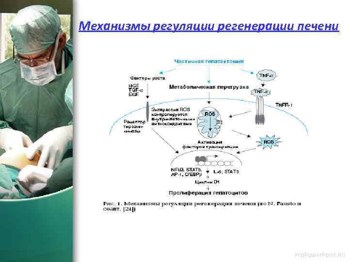 Механизмы регуляции регенерации печени Pro. Power. Point. Ru