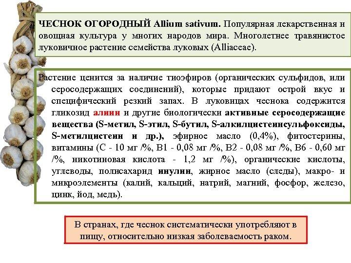 ЧЕСНОК ОГОРОДНЫЙ Allium sativum. Популярная лекарственная и овощная культура у многих народов мира. Многолетнее