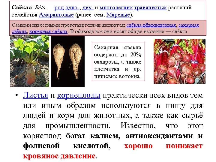 Свёкла Béta — род одно , дву и многолетних травянистых растений семейства Амарантовые (ранее