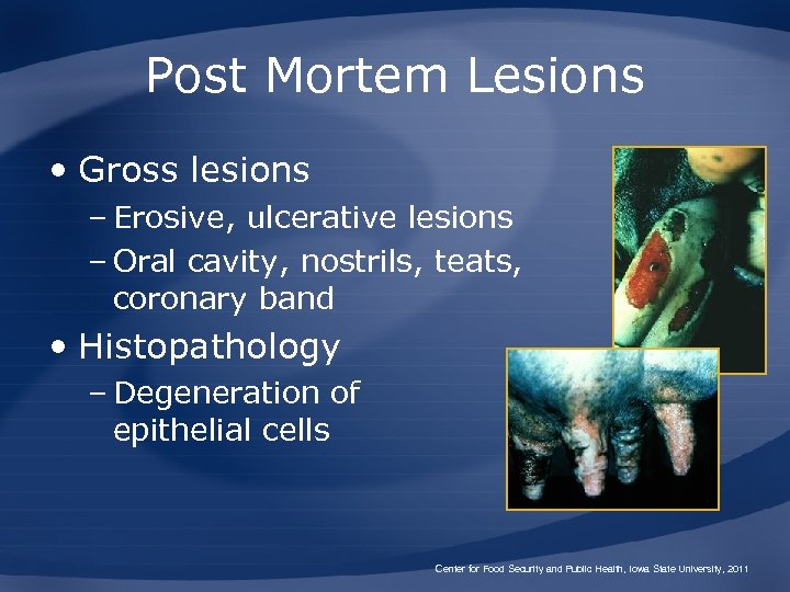Post Mortem Lesions • Gross lesions – Erosive, ulcerative lesions – Oral cavity, nostrils,