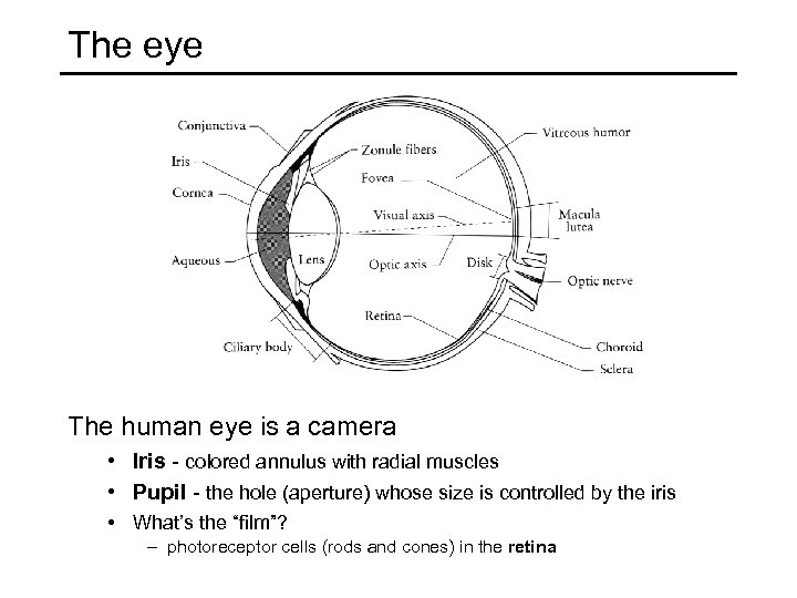 The eye The human eye is a camera • Iris - colored annulus with