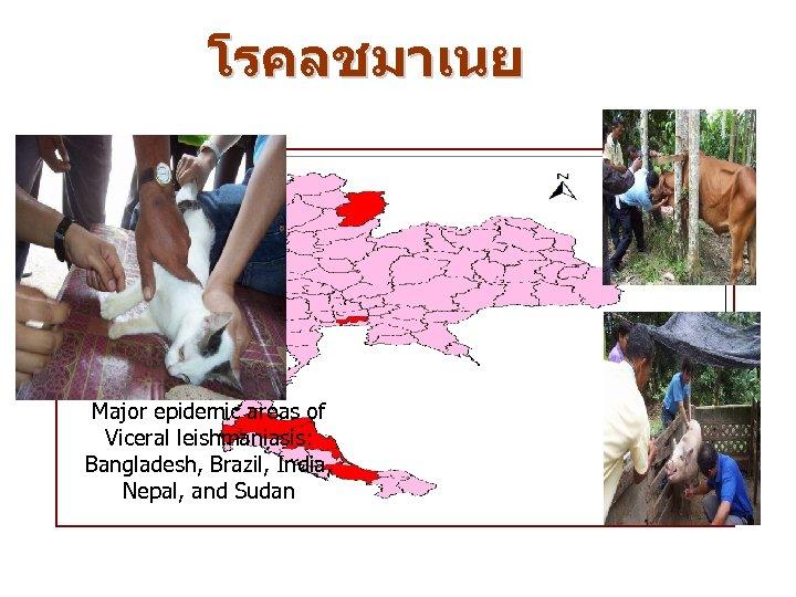 โรคลชมาเนย Major epidemic areas of Viceral leishmaniasis: Bangladesh, Brazil, India, Nepal, and Sudan
