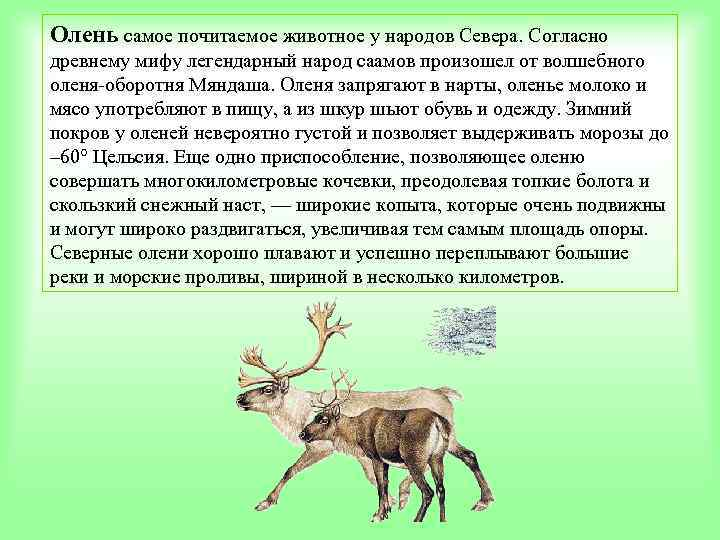 Олень самое почитаемое животное у народов Севера. Согласно древнему мифу легендарный народ саамов произошел