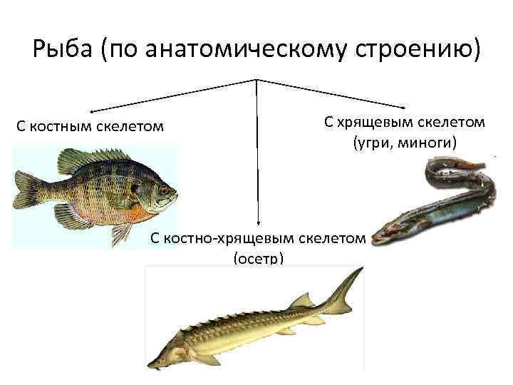 Рыба (по анатомическому строению) С костным скелетом С хрящевым скелетом (угри, миноги) С костно-хрящевым