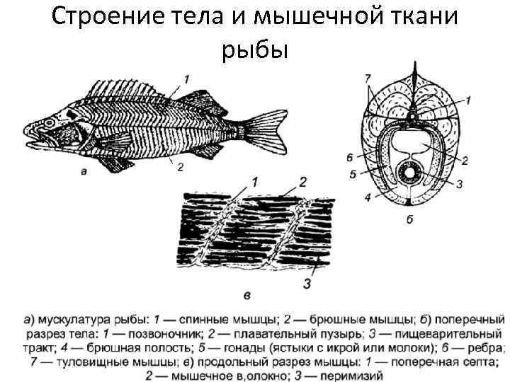 Строение тела и мышечной ткани рыбы