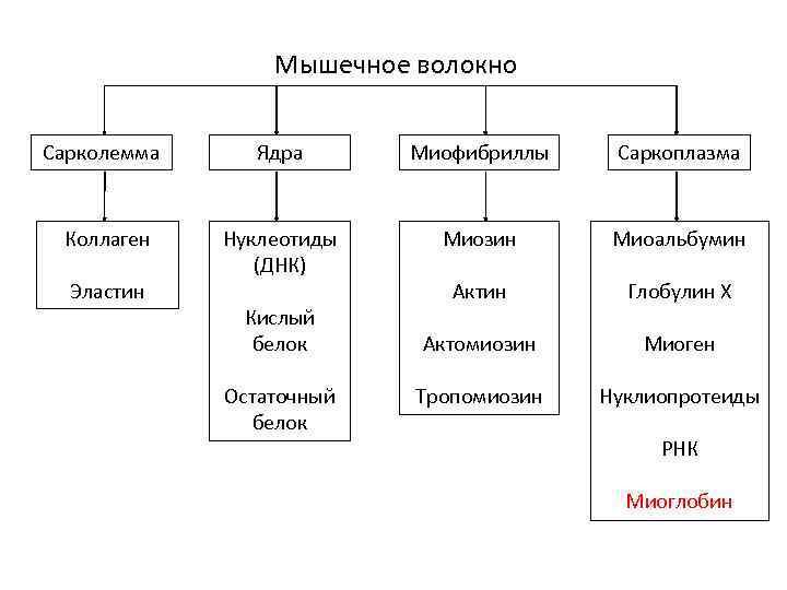 Мышечное волокно Сарколемма Ядра Миофибриллы Саркоплазма Коллаген Нуклеотиды (ДНК) Миозин Миоальбумин Актин Глобулин Х