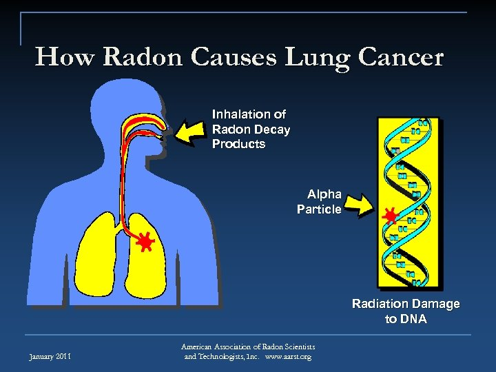 How Radon Causes Lung Cancer Inhalation of Radon Decay Products Alpha Particle Radiation Damage