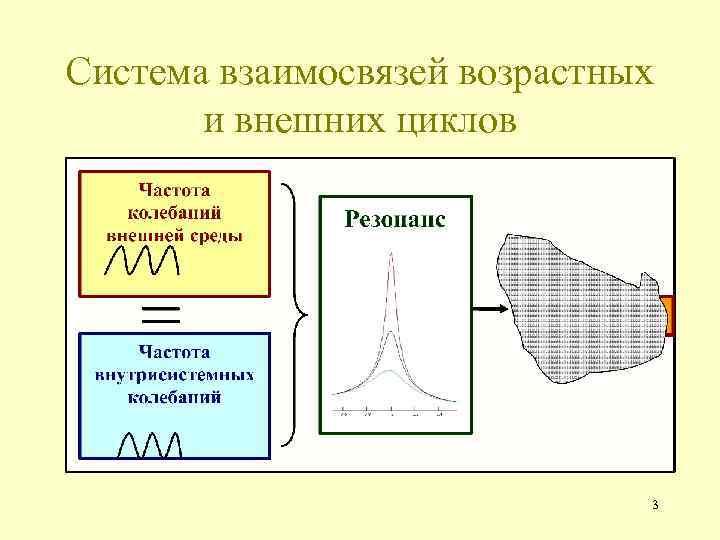 Система взаимосвязей возрастных и внешних циклов 3