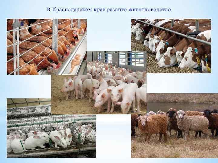 В Краснодарском крае развито животноводство