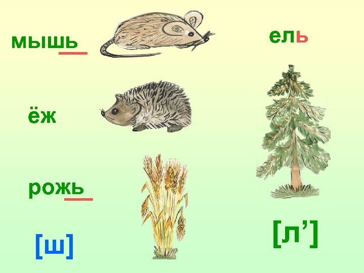 мышь ель ёж рожь [ш] [л']