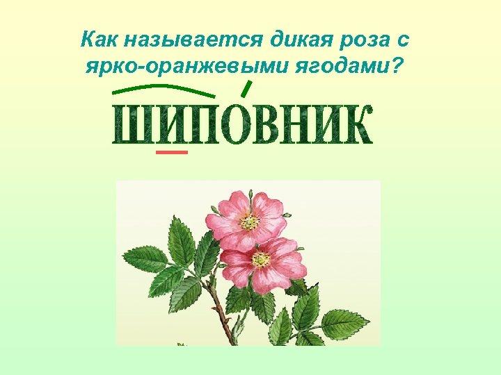 Как называется дикая роза с ярко-оранжевыми ягодами?