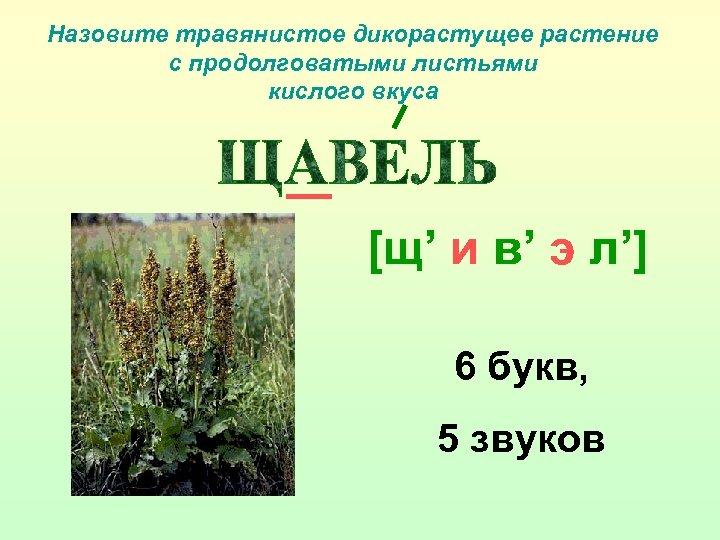 Назовите травянистое дикорастущее растение с продолговатыми листьями кислого вкуса [щ' и в' э л']