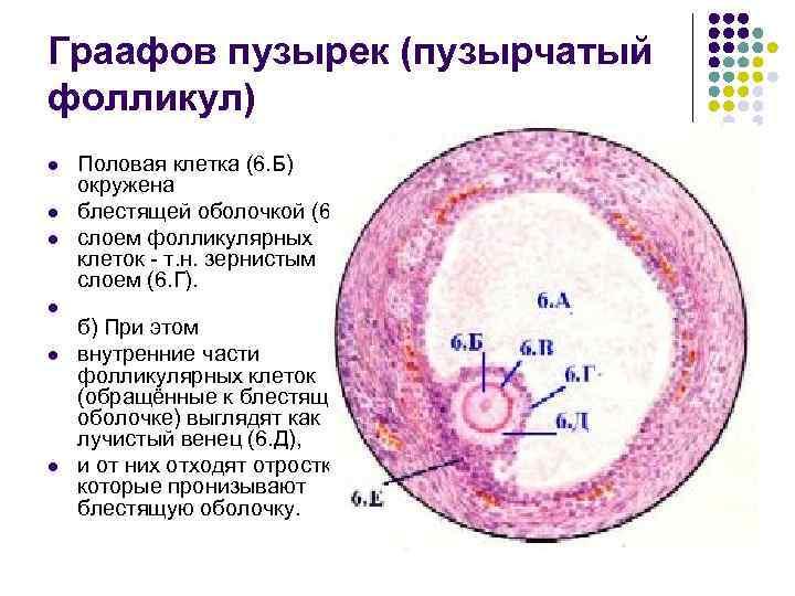 Граафов пузырек (пузырчатый фолликул) l l l Половая клетка (6. Б) окружена блестящей оболочкой