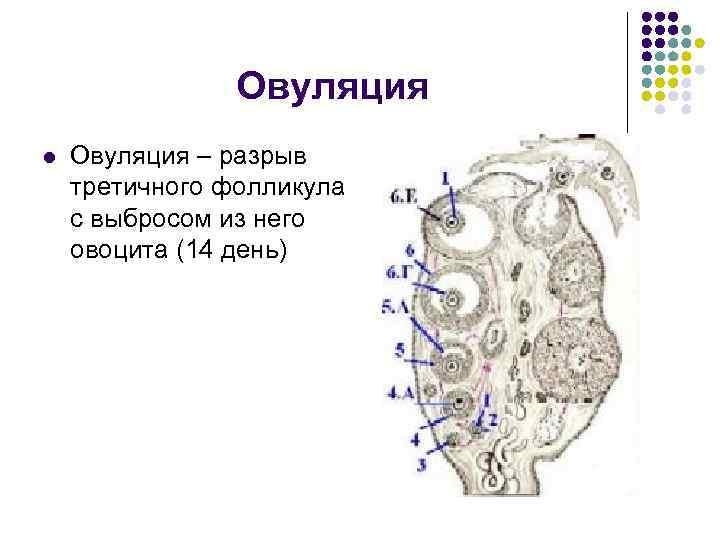 Овуляция l Овуляция – разрыв третичного фолликула с выбросом из него овоцита (14 день)