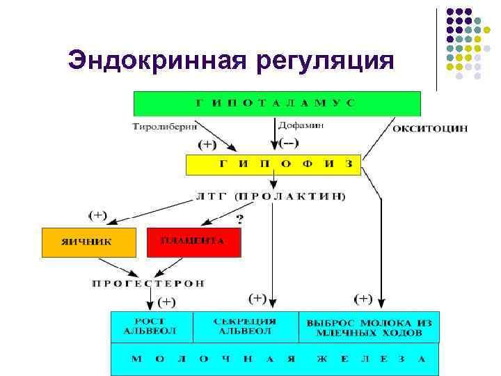 Эндокринная регуляция