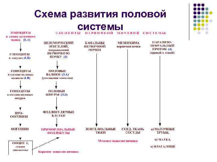 Схема развития половой системы