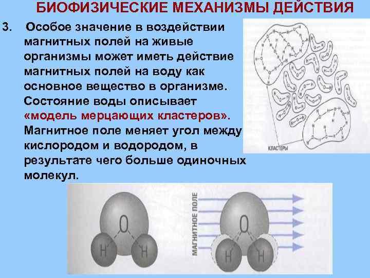 БИОФИЗИЧЕСКИЕ МЕХАНИЗМЫ ДЕЙСТВИЯ 3. Особое значение в воздействии магнитных полей на живые организмы может