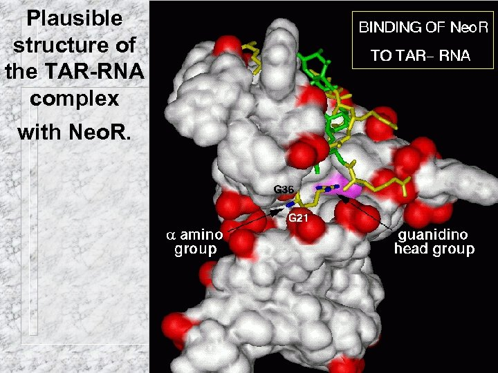 Plausible structure of the TAR-RNA complex with Neo. R.