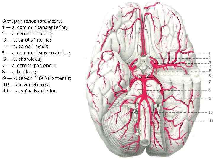 Артерии головного мозга. 1 — a. communicans anterior; 2 — a. cerebri anterior;