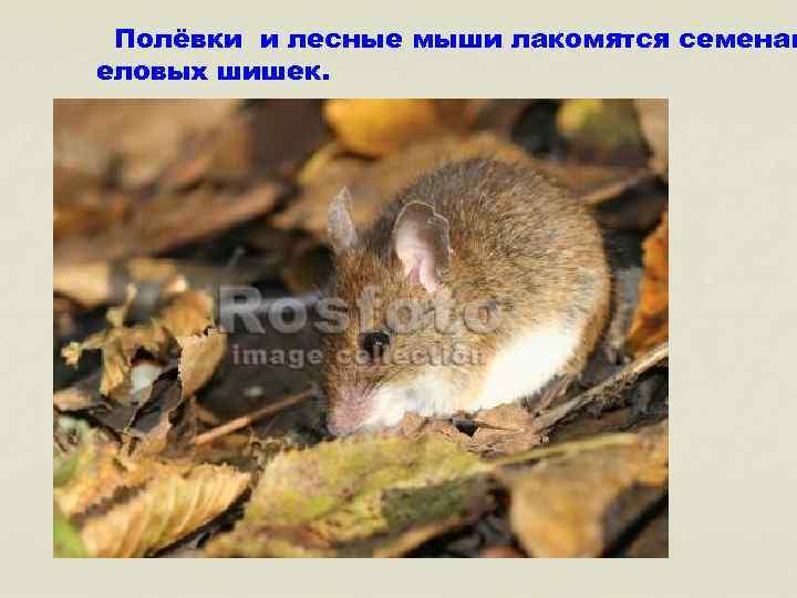 Полёвки и лесные мыши лакомятся семенам еловых шишек.